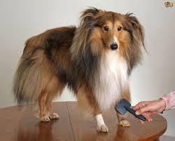 A Shetland Sheepdog has long hair the requires a special dog shampoo.