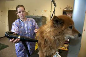 Using force hair dryers will shorten the time it takes to dry your pet.