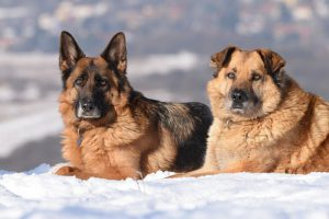 Two German Shepard's laying in the snow.