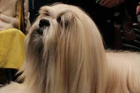 Lhasa Apsos with a full coat