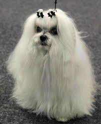 the standard for a Maltese is a double top knot.