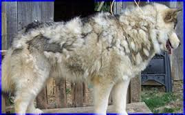 A Husky that id matted.