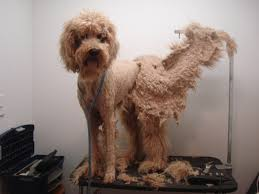 A badly matted Poodle that needs a shave down.