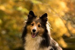 Shetland Sheepdog sitting under trees in the Autumn.