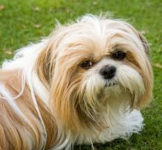long haired white and brown Shih-tzu