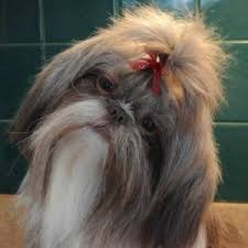 Shih-tzus with a top knot.