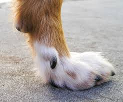 The dewclaw needs to be cut while grooming.