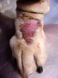 Hot Spots on dogs is very common and can be treated with the proper dog shampoo.