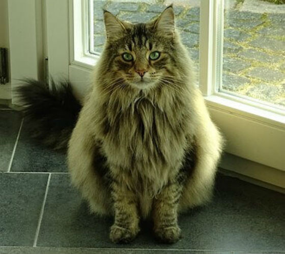 A long haired cat sitting in front of a door.