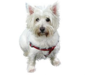 Keep your white dog white with the proper shampoo.