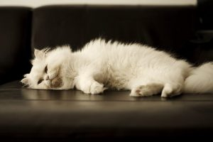 A white Persian sleeping on a couch