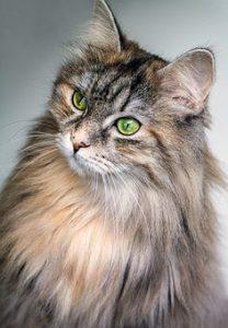 A Main Coon cat has long hair
