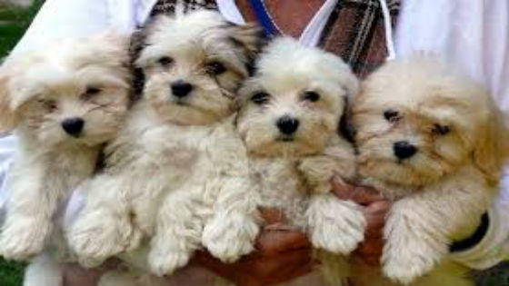 Four Poodle puppies being held by a person.
