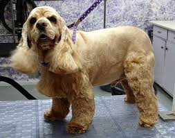 A Cocker Spaniel on a grooming table
