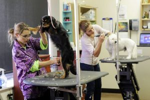 Grooming dogs on a grooming table