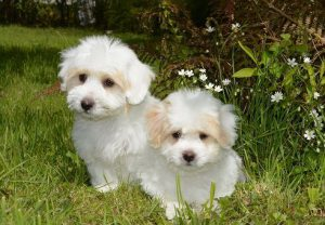 Two white Poodle puppies sitting in the grass.