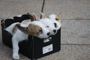 Three puppies sleeping in a box.