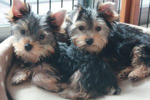Two Yorkshire Terrier puppies laying in a dog bed.