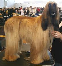 A golden Afghan Hound standing on a grooming table