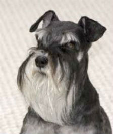 A well groomed Schnauzer