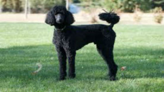A black Standard Poodle standing on the grass.