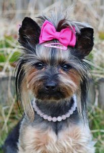 Groom a Yorkie with a pink bow and pearl necklace.