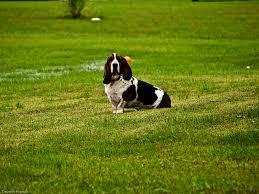 A Basset Hound sitting in the grass.