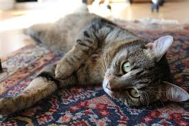 A cat laying on a rug. Flea control will need to be applied to all carpets.