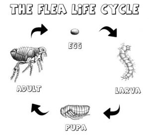 The fleas life cycle chart