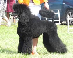 A black show Standard Poodle