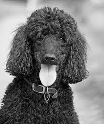A black Standard Poodle