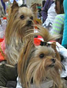A pair of Yorkies