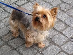 This Yorkie has a Saddle cut.