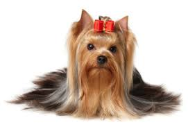 A Yorkie with a silky coat