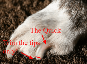 A dogs paw showing the quick and ware to cut.