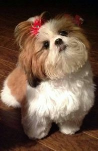 Shih-Tzu cut with pet grooming clippers