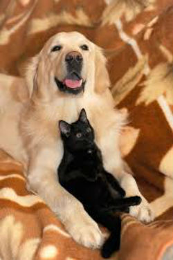 Golden retriever holding a black cat
