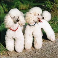 White Poodles in a Lamb cut
