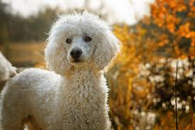 An adult white Standard Poodle