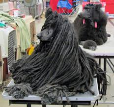 A Corded Poodle Coat on a Black Standard Poodle