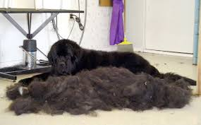 Find The Best Dog Shampoos for Shedding to prevent this from happening.