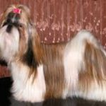 A white and brown Shih Tzu with a full coat